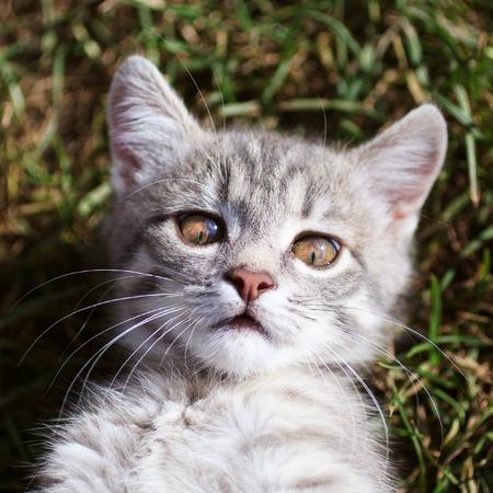 gray cat: beautiful gray cat lying on grass