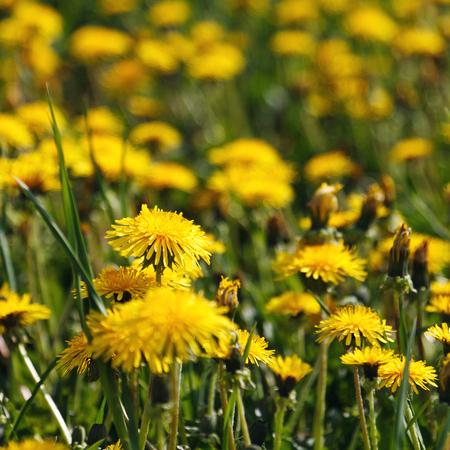 dandelion field: beautiful yellow dandelion field
