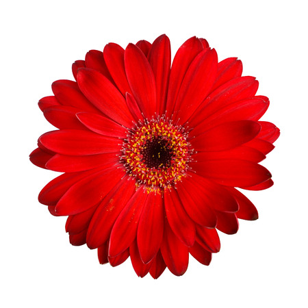 Red gerbera Isolated photo