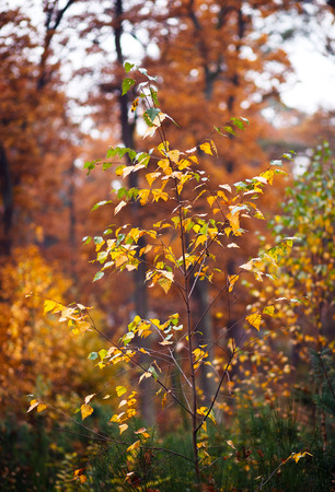 tilt views: young birch tree on a background autumn forest