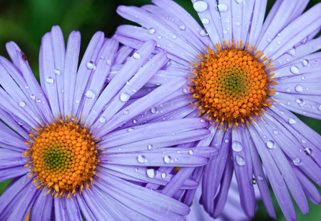 beautiful violet daisies with drops of dew in the garden 스톡 콘텐츠