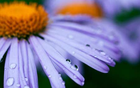 beautifu: beautifu purple daisy flowers with raindrops