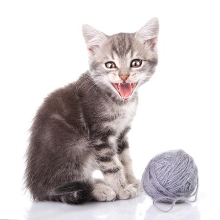 meowing: cute tabby kitten meowing