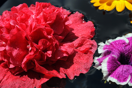 red  carnation: Beautiful red carnation with dew drops, macro Stock Photo