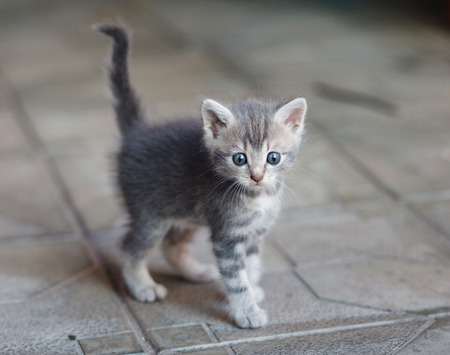 baby  pussy: frightened gray kitten with big blue eays