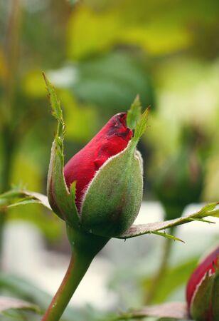 blooms: red rose blooms