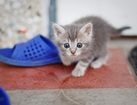 baby  pussy: funny gray-brown kitten playing Stock Photo