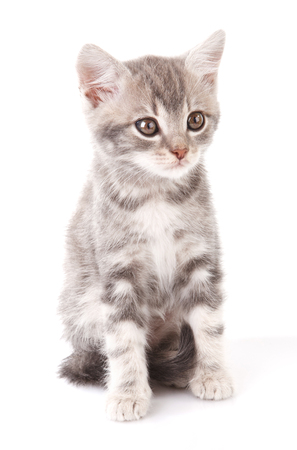 gray tabby: beautiful gray tabby kitten sitting on white background Stock Photo