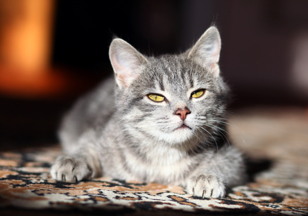 pussy cat: lovely gray pussy is interesting Stock Photo