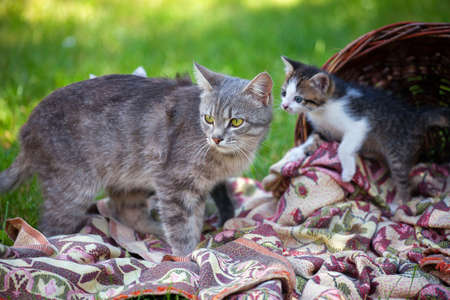 kitten: Little Kittens with mom in a basket on the grass