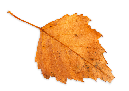 birch leaf: autumn birch leaf isolated on white background with clipping path