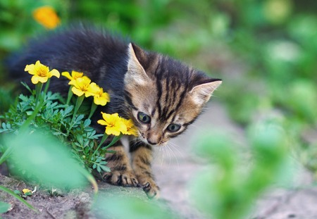 flowers cat: small gray cat playing in yellow flowers