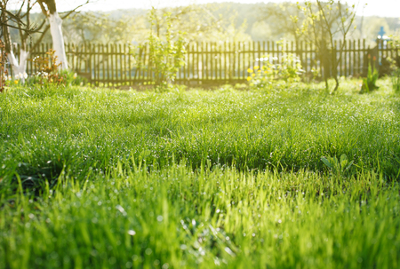lawn grass: Spring garden with grass, dew drops and fence