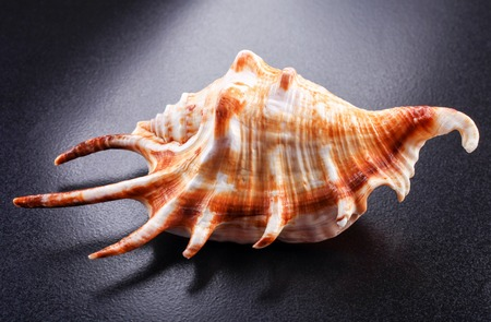 conch shell: A yellow and orange conch shell from the sea.
