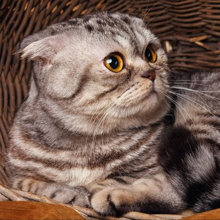bicolor: Beautiful bicolor stripes cat with yellow eyes Scottish Fold Sits in a wooden basket