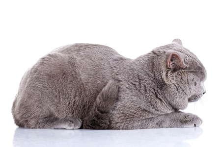 british shorthair: cute British Shorthair cat isolated  on  white background