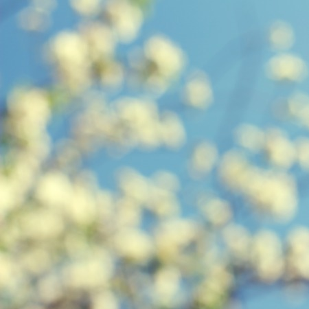 flowers bokeh: Abstract white spring background with cherry  blooms in soft background of flowering branches and sky, early spring white flowers bokeh Stock Photo