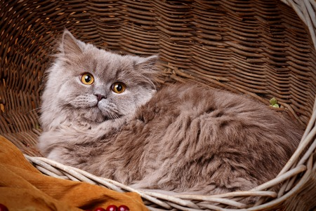 scottish straight: cute gray Scottish long-haired straight cat on a wooden basket