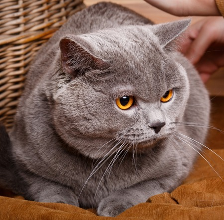 british shorthair: beautiful British Shorthair cat on a wooden background Stock Photo