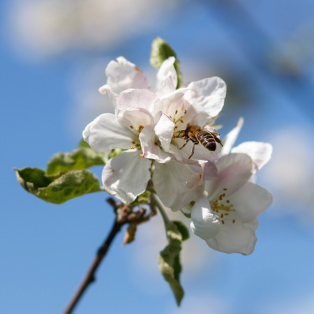 Bee on a flower of the white cherry blossoms in spring