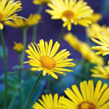 on yellow daisy: yellow daisy flowers Stock Photo