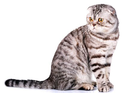 bicolor: cute Scottish fold cat bicolor stripes isolated  on white background