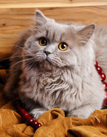 unsatisfied: cute gray Scottish long-haired straight cat on a wooden background