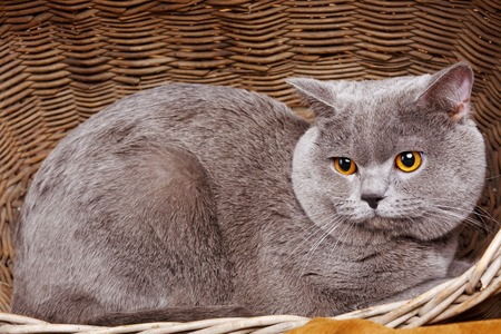 british shorthair: gray cute British Shorthair cat on a wooden basket