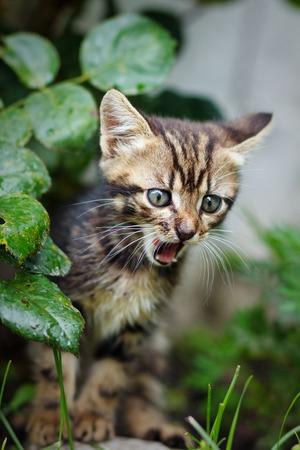 meowing: Little  cute kitten meowing outdoors Stock Photo