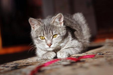 hilo rojo: gato gris a rayas jugando con hilo rojo