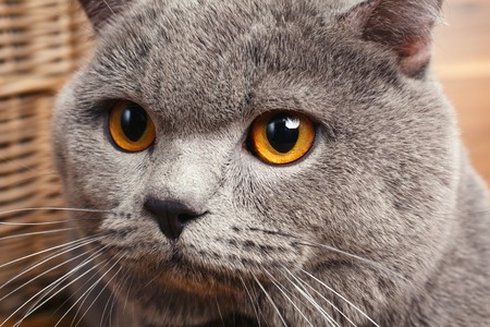 british shorthair: closeup British Shorthair   cat with yellow eyes on a wooden background