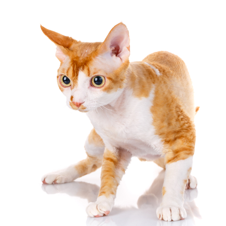 Orange devon rex cat siting on white background and looking aside the camera Stock Photo