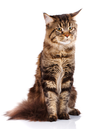 7 months: Maine Coon, 7 months old, sitting and looking ahead in front of white background, studio shot