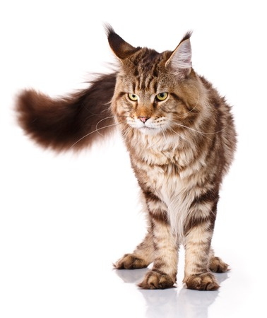 brown Maine Coon standing on a white background