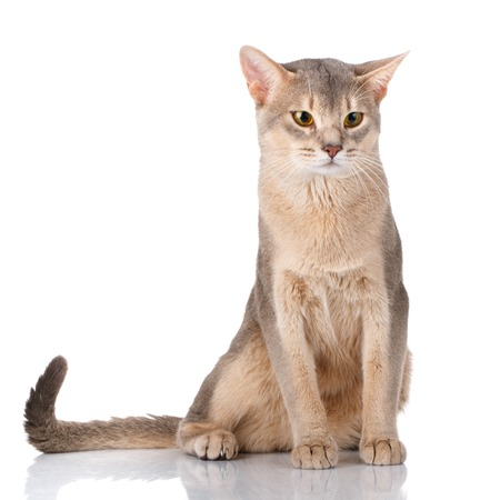 pet cat: beautiful Redhead cat abyssyn siting front on a white background