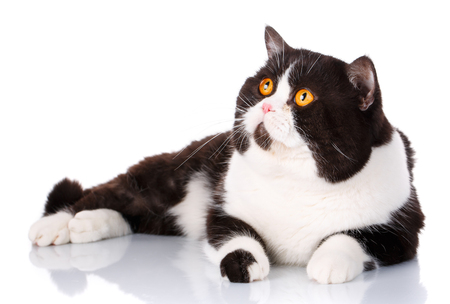scottish straight: Portrait of a cute lying black and white cat Scottish Straight with big yellow eyes isolated on white background