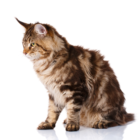 7 months: Maine Coon, 7 months old, sitting and looks toward in front of white background, studio shot