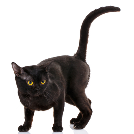 Bombay black cat on a white background with a climb up the tail