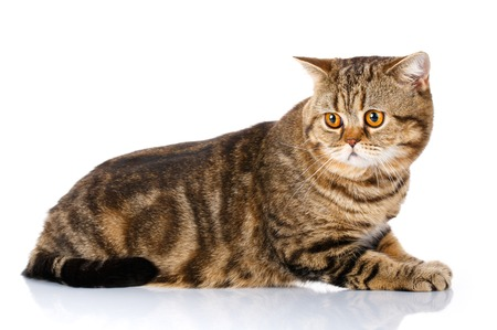 scottish straight: Purebred Scottish Straight Male Cat Lying on Isolated white Background, Side view