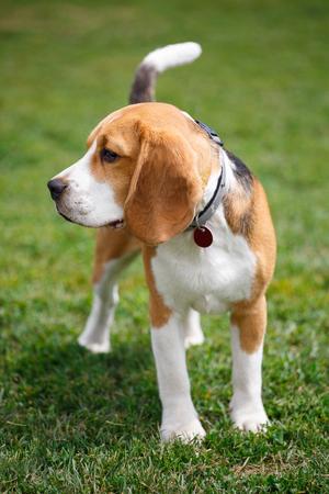 Portrait of a beagle dog Stock Photo