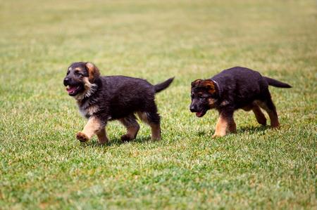 german shepherd puppies running on the grass