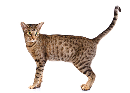 domestic: portrait of a ocicat cat on a white background