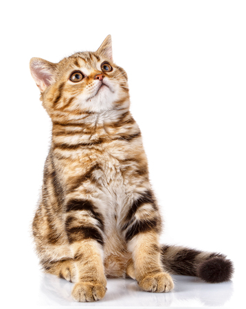 domestic: cute Scottish straight cat bicolor stripes siting on white background and looking up