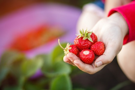 berry: strawberry, summer, vacation and recreation concept - Child picking strawberries. Kids pick fresh fruit on organic strawberry farm. Outdoor summer fun