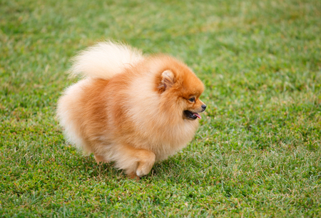 funny pomeranian dog walking on the grass