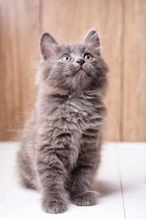 Purebred cats. Purebred kitten Kurilian Bobtail on a wooden background Stock Photo