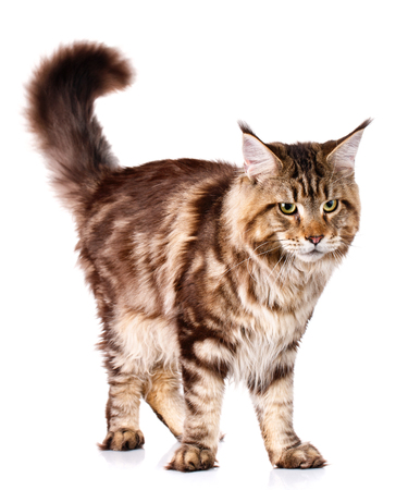 brown Maine Coon standing with a raised tail up on a white background