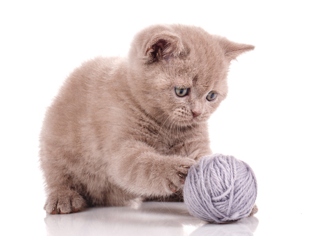 Scottish Straight Cat playing with a tangle of threads on white background Zdjęcie Seryjne