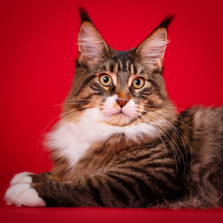 Maine Coon cat looking at the camera