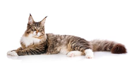 Maine Coon. Największy kot. Duży kot. Maine Coon Zdjęcie Seryjne